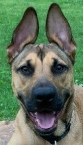 Finn is a twenty-one month-old ShepherdHound mix rescued from the South He is