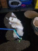 Pisces, an adoptable Domestic Short Hair in Newcastle, OK_image-4