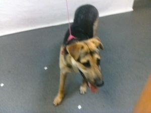 21-07812 German Shepherd BrownBlack Impounded on 03292021 from Downey Available for adoption hold