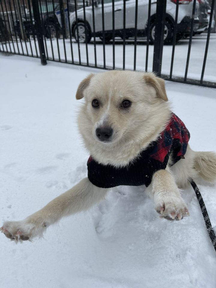 Ringo, an adopted Pomeranian & Spitz Mix in Hainesville, IL_image-3