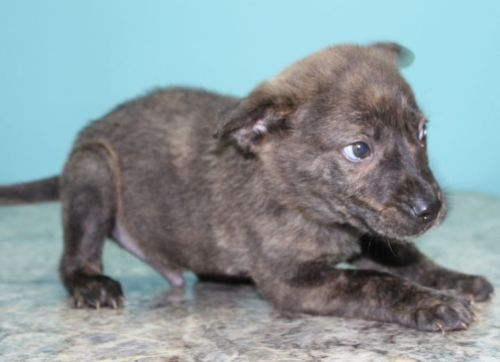 Sparty, an adopted Shepherd Mix in Neillsville, WI