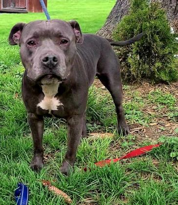 Diaz, an adoptable Pit Bull Terrier Mix in Cumberland, MD