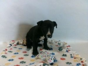 21-07753 Pitbull Mix BlackWhite Impounded on 03272021 from Bellflower Available for adoption hold