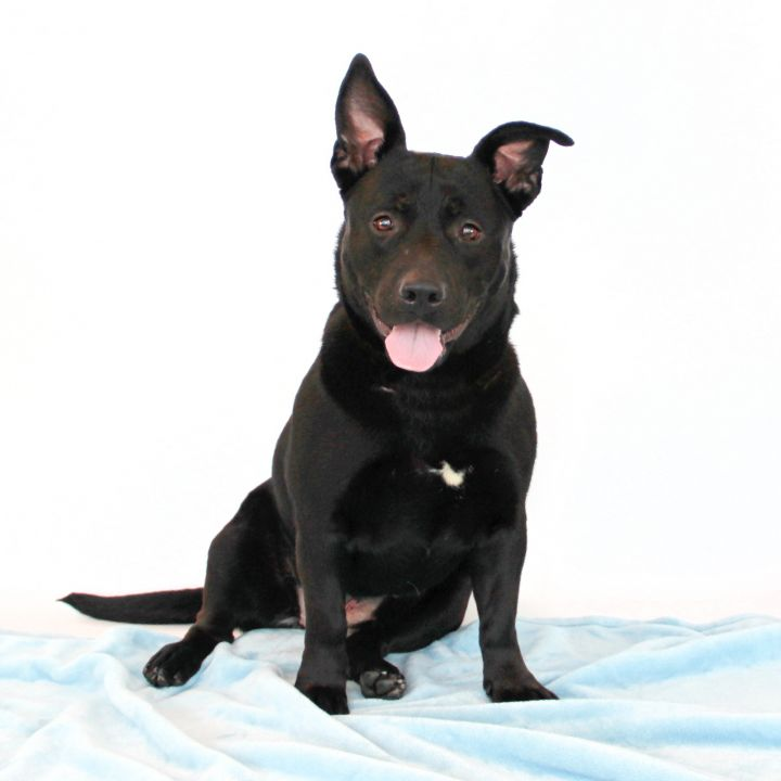 Jenna, an adoptable Pit Bull Terrier Mix in Clovis, CA