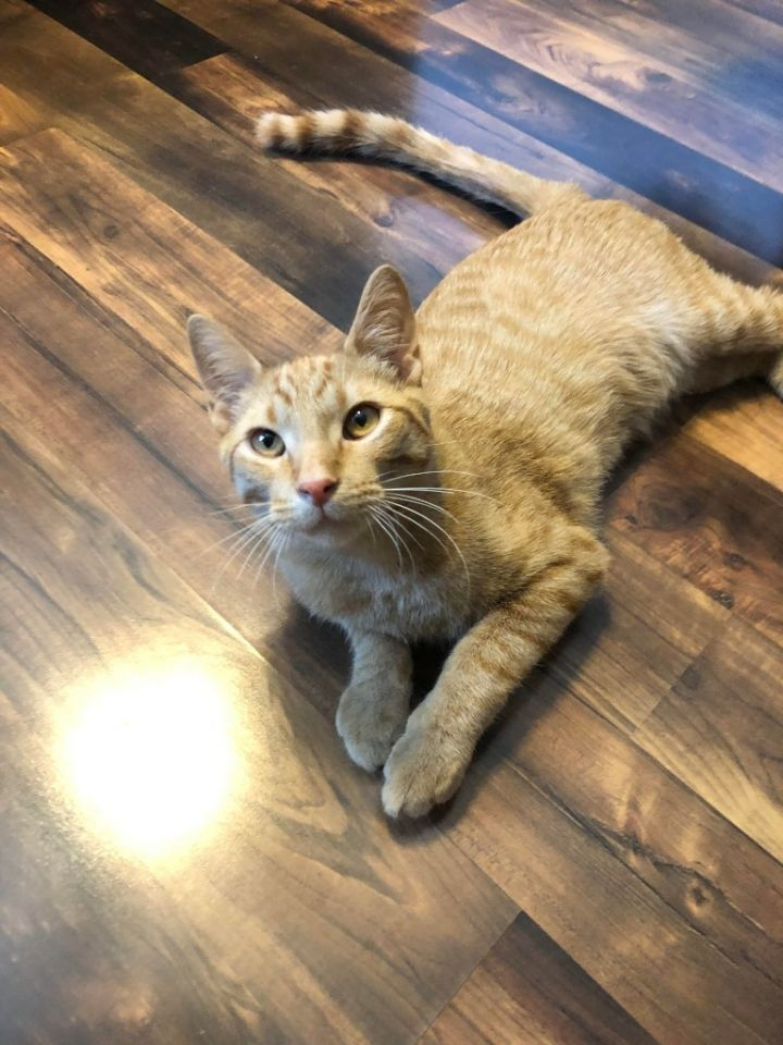 Jones, an adoptable Domestic Short Hair in Minot, ND