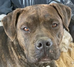 Allie is a gorgeous one and a half year-old BoxerHound mix rescued from Georgia If interested in a