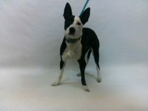 21-07841 Pitbull Mix BlackWhite Impounded on 03302021 from Downey Available for adoption holds on