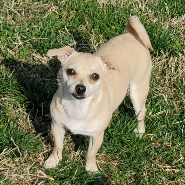 Queenie, an adopted Chihuahua Mix in Owensboro, KY