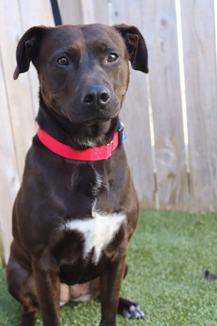 Bibi, an adoptable Labrador Retriever Mix in Springfield, MO