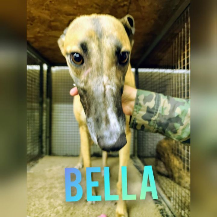 Bella, an adoptable Greyhound in Burlington, WI