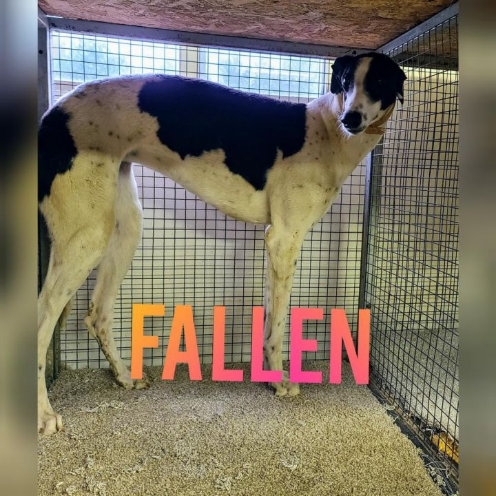 Fallen, an adoptable Greyhound Mix in Burlington, WI