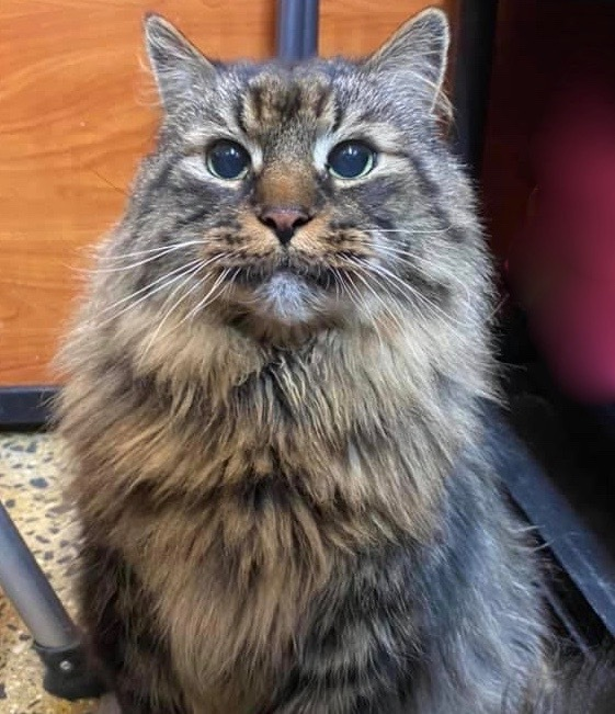 Binx, an adoptable Maine Coon Mix in Greenburgh, NY