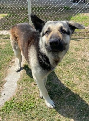 Attila 43722 must be met in person He stands tall and weighs 100 lbs He walks well on a leash