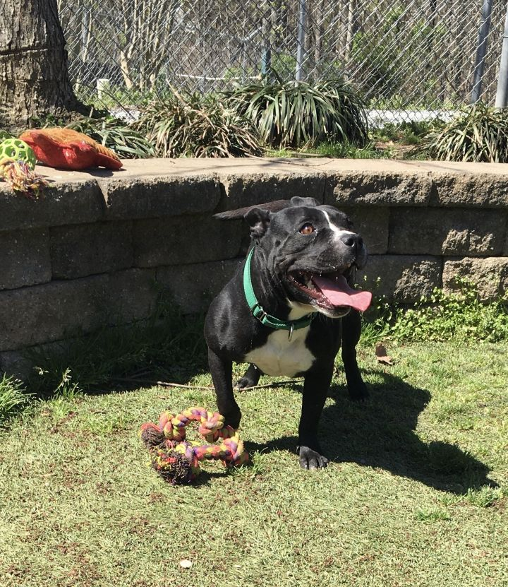 NATALIE, an adoptable Pit Bull Terrier Mix in Greensboro, NC