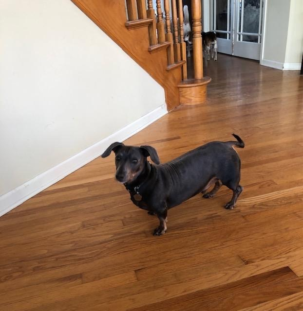 Buddy Blue, an adopted Dachshund in Frankfort, IL_image-2