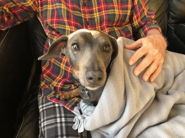 Buddy Blue, an adopted Dachshund in Frankfort, IL