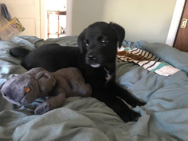 Pepper, an adopted Labrador Retriever Mix in Cincinnati, OH