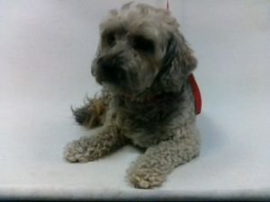 21-07858 Terrier Mix BlackTan Impounded on 03312021 from Lakewood Available for adoption holds on