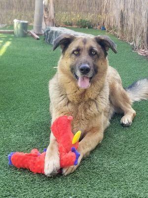 Chaffa German Shepherd Dog Dog