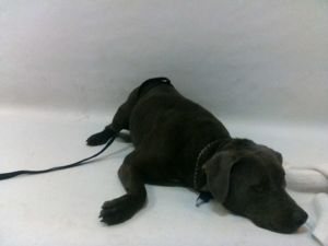 21-07703 Pitbull Grey Impounded on 03252021 from South Gate Available for adoption holds on 0325