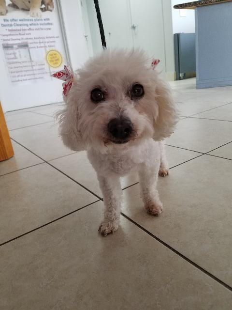 Suzie Q (Zumela), an adoptable Poodle & Maltese Mix in Lake Forest, CA