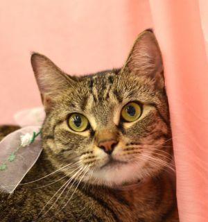 Bella - 1960/I45 Petsmart Tabby Cat