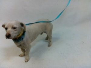 21-07877 Chihuahua Mix White Impounded on 03312021 from Downey Available for adoption holds on 03