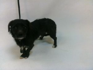 21-07878 Terrier Mix BlackWhite Impounded on 03312021 from Downey Available for adoption holds on