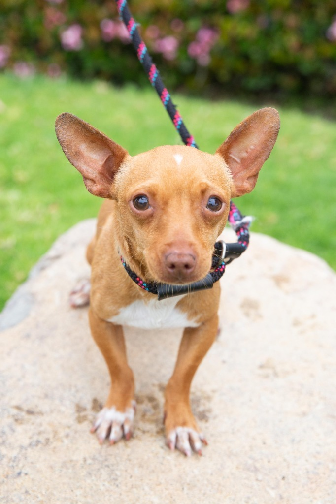 Vanguard, an adoptable Chihuahua & Dachshund Mix in San Diego, CA_image-1