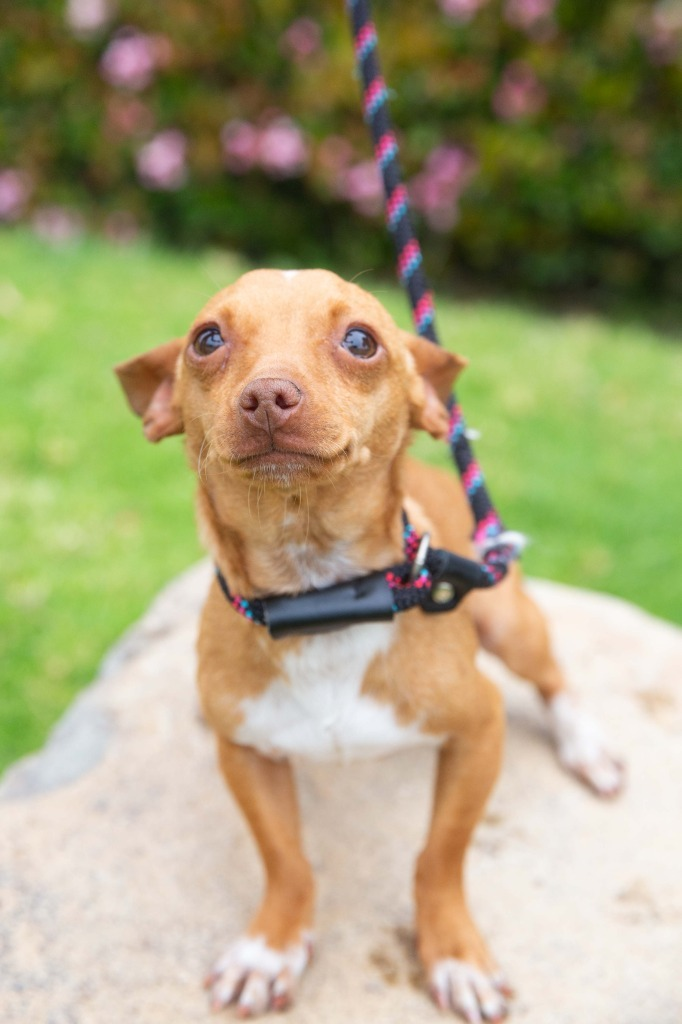 Vanguard, an adoptable Chihuahua & Dachshund Mix in San Diego, CA_image-3
