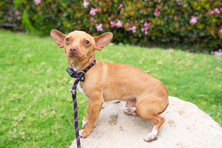 Vanguard, an adoptable Chihuahua & Dachshund Mix in San Diego, CA_image-4
