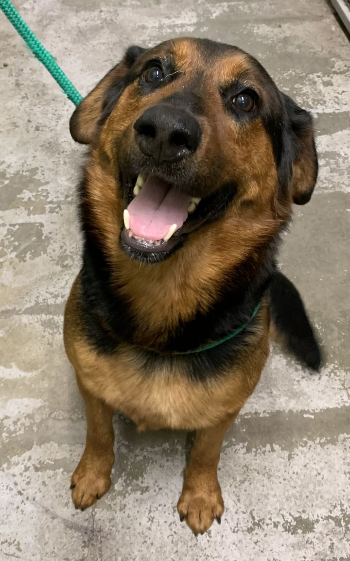 Felony, an adopted Collie & Rottweiler Mix in Hainesville, IL_image-2