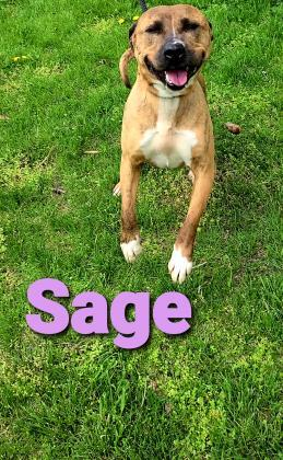 Sage, an adoptable Terrier Mix in Cumberland, MD