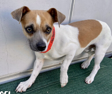 Wisconsin, an adoptable Chihuahua & Beagle Mix in Studio City, CA