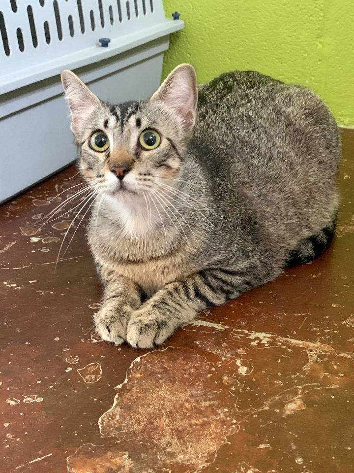 Carson, an adopted Domestic Short Hair in Carencro, LA_image-1