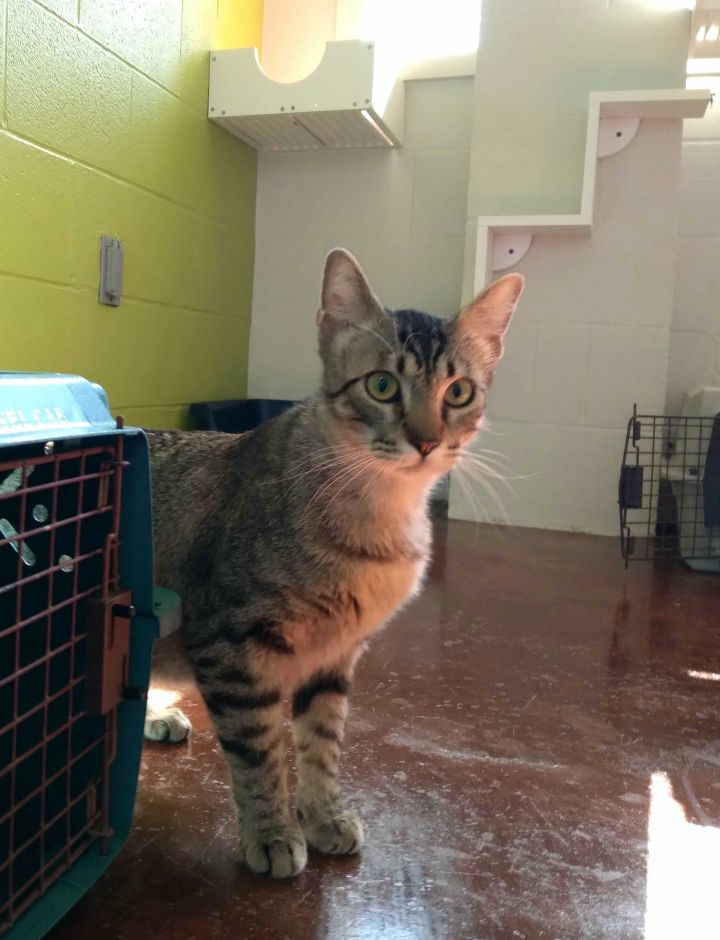 Carson, an adopted Domestic Short Hair in Carencro, LA_image-2