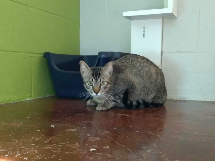 Carson, an adopted Domestic Short Hair in Carencro, LA_image-3