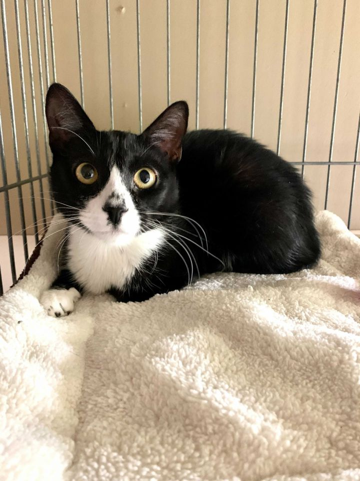 Grace, an adoptable Domestic Short Hair in Carencro, LA