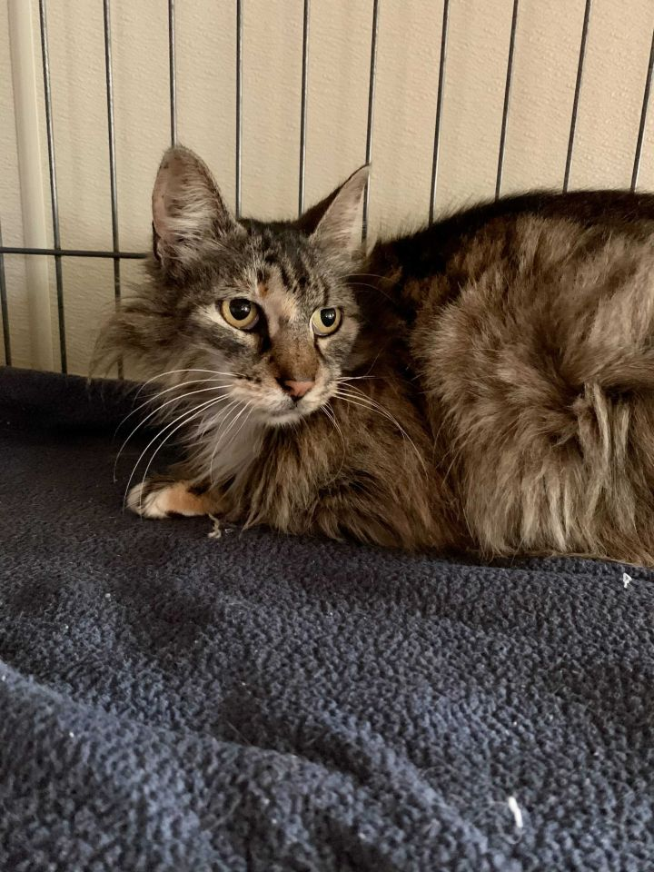 Blair, an adopted Maine Coon Mix in Carencro, LA_image-2