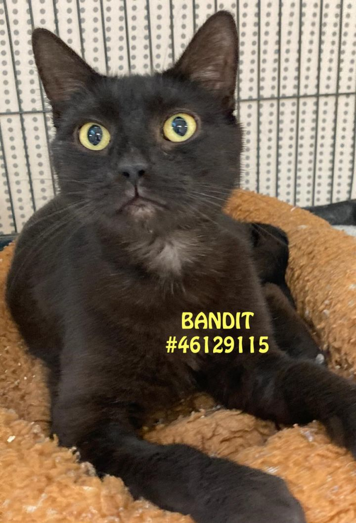 Bandit, an adopted Domestic Short Hair in Wilkes Barre, PA_image-1