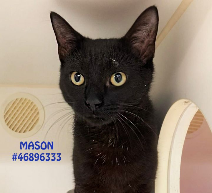 Mason, an adoptable Domestic Short Hair Mix in Wilkes Barre, PA