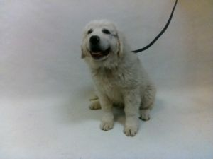 21-07864 Great Pyrenees White Impounded on 03312021 from Downey Available for adoption holds on 03