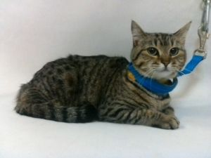 21-07853 Domestic Short Hair Brown TabbyWhite Impounded on 03312021 from Downey Available for ado