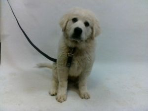 21-07863 Great Pyrenees White Impounded on 03312021 from Downey Available for adoption holds on 03
