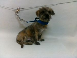 21-07852 Terrier Mix BlackGrayTan Impounded on 03312021 from Lakewood Available for adoption hol