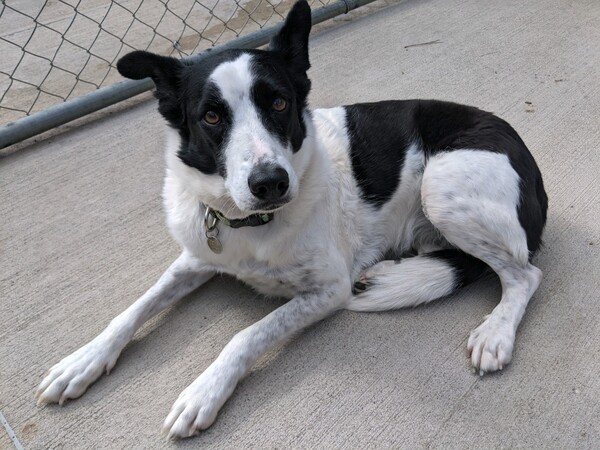 Jinks, an adoptable Border Collie Mix in Louisville, KY_image-1
