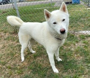 Cottonball 43746 is your typical husky mix She is vocal mouthy and quite the escape artist Cott