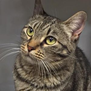 Pepper is a beautiful cat with her big eyes round face and slightly short front legs she is sure