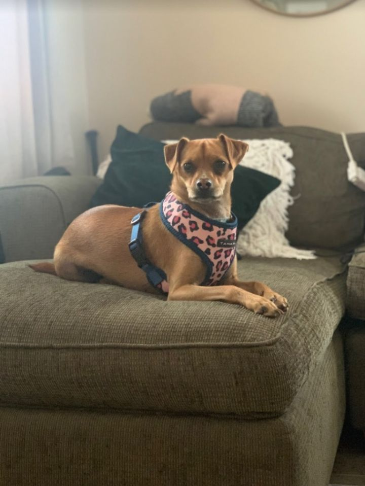 Roo COURTESY POST, an adoptable Chihuahua & Pug Mix in Lake Forest, CA