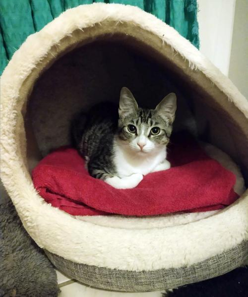 Lola, an adoptable Domestic Short Hair in Mission Viejo, CA